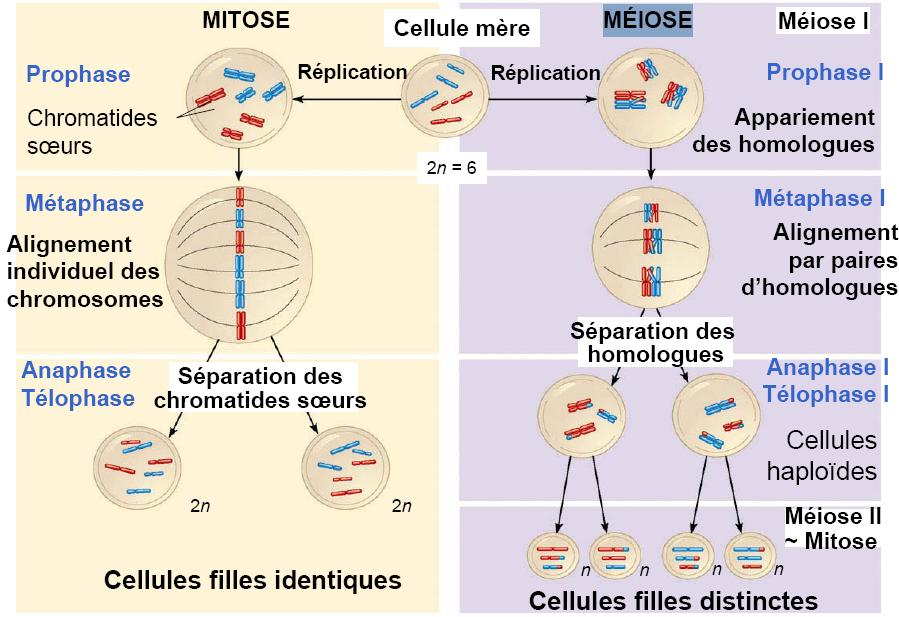 Mitose meiose difference images - Difference entre pyrolyse et catalyse ...